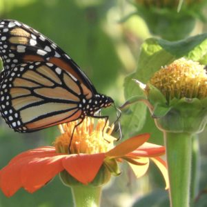 photo Mighty Monarch - Taken at the Community Gardens on September 30, 2020 by Mary Pat Bozel