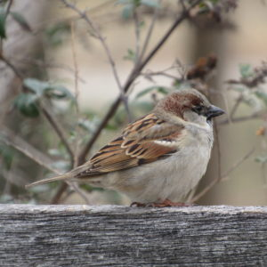 photo Sparrow on a Winter's Day - Taken as the sparrow perched on a fence near the Visitors Center on January 13, 2020 by Karen Schoenaar