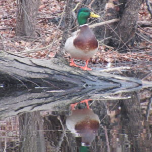 photo Seeing Double - Taken at the Duck Pond on January 13, 2020 by Karen Schoenaar