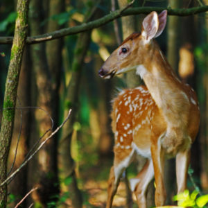 "photo Fawn at Daybreak - Taken just off the Blackberry Trail on July 25, 2020 by Dominic ""Mickie"" Vigneri"