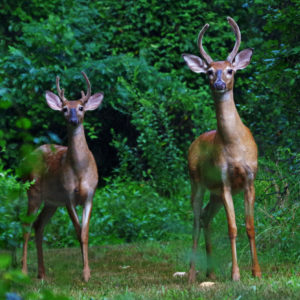 "photo Curious Brothers - Taken in the woods near the Blackberry Trail on August 1, 2020 by Dominic ""Mickie"" Vigneri"