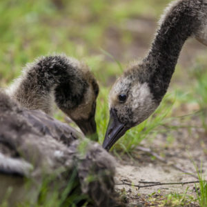 photo Fuzzy Geese Together - Taken at the Duck Pond on May 27, 2020 by Stephen Reali