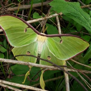 photo Luna Moth - Taken at Bunk's Pond on April 27, 2020 by Matthew Beziat