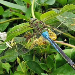 photo Common Green Darner - Taken along the Perimeter Trail on June 28, 2020 by Matthew Beziat