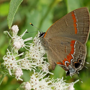 photo Hairstreak Enjoying Boneset - Taken on a patch of late boneset (Eupatorium serotinum) on the side of a path near the chicken coop and Blackberry Trail on September 17, 2020 by Shane Windsor