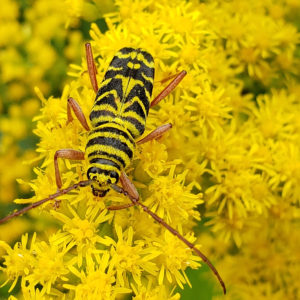 photo Locust Borer in Goldenrod Landscape - Taken on a patch of late goldenrod (Solidago altissima) at the side of a path near the chicken coop and Blackberry Trail, on September 17, 2020 by Shane Windsor