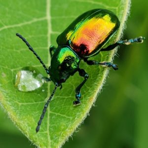 photo Dogbane Beetle's Leaf - Taken around the back of the Wildflower Trail on June 20 2020 by Shane Windsor