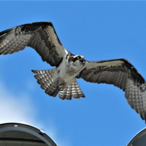 photo Osprey Family is Back - Taken of nest on light at one of the large athletic fields on May 12, 2020 by Bob Engh