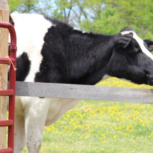 photo A Big Moo! - Taken on May 2, 2020 by Willa Cooke
