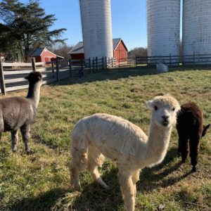 photo Alpaca Happiness - Taken on December 27, 2020 by Lisa Angyelof